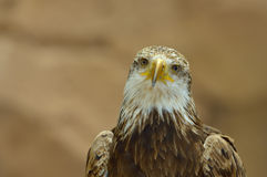 The Bald Eagle portrait Stock Photography