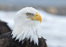 Bald eagle portrait in  Homer, Alaska Royalty Free Stock Images