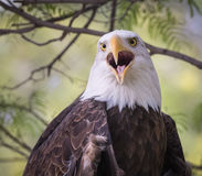 Bald Eagle Portrait - Looking Straight Closeup Detail Royalty Free Stock Photography