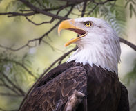 Bald Eagle Portrait - Looking to the Side Closeup Detail. Bald Eagle Portrait - Perched on a Tree - Looking to the Side Closeup Detail Stock Image