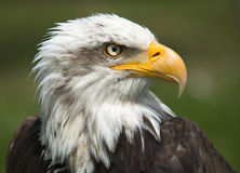 Bald Eagle Portrait. Majestic bald  Eagle Portrait on green Royalty Free Stock Images