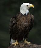 Bald Eagle portrait. In nature Royalty Free Stock Image