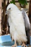 Bald eagle portrait Royalty Free Stock Photography