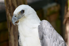 Bald eagle portrait Royalty Free Stock Photo