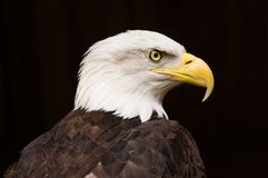 Bald Eagle Portrait. Bald Eagle at a rescue facility on Vancouver Island BC Royalty Free Stock Images