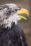 Bald eagle portrait with yellow bill. Portrait of typical american species bird of prey bald eagle with yellow bill Stock Photography