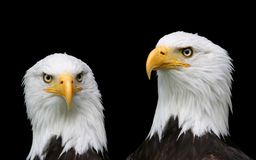 Bald eagle portraits Royalty Free Stock Photography