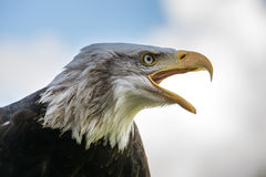 Bald eagle portret. Bald eagle with opened beak. Closeup portret. Blue sky background with some clouds Stock Image