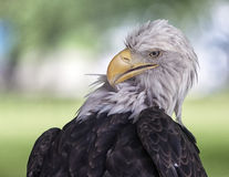 Bald eagle preening Stock Image