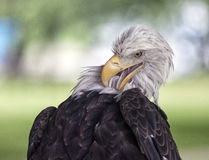 Bald eagle preening Royalty Free Stock Images