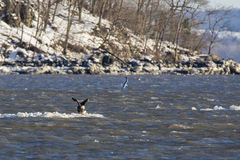 Bald Eagle Preparing for Takeoff on Iceberg in River Royalty Free Stock Photography