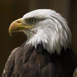 Bald Eagle Profile. An adult bald eagle in profile stock image
