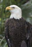 Bald Eagle Profile Stock Photo