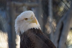 Bald Eagle Profile. Close up photo of bald eagle with sharp definition Royalty Free Stock Photography