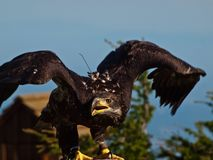 Bald eagle in profile with open wings. Royalty Free Stock Photo