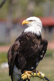 Bald Eagle profile perched Stock Photography