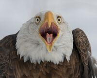 Bald Eagle Profile Portrait Against White Background Stock Images