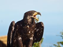 Bald eagle in profile. Royalty Free Stock Image