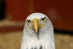 Bald eagle with quizzical look Royalty Free Stock Image