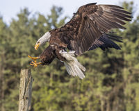 Bald Eagle reaching for the staub Royalty Free Stock Photo
