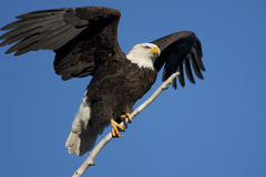 Bald Eagle ready to fly. A Bald Eagle in ready to fly from a perch with a blue sky background Stock Photo