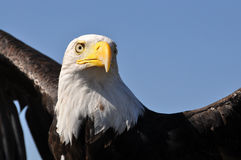 Bald eagle ready to soar. Adult Bald eagle with white head and large black wings is ready to soar and take flight Stock Photos