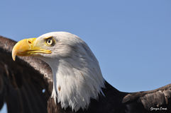 Bald eagle ready to take flight Royalty Free Stock Images