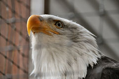 Bald Eagle in Rehabilitation Center. Stares intently Stock Images