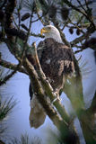 Bald Eagle resting on a perch in a pine tree Royalty Free Stock Image