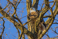 Bald Eagle Resting in Shady Fork of Tree Royalty Free Stock Images