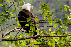Bald Eagle. A bald eagle resting in a tree in the forest Royalty Free Stock Image