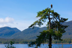 Bald Eagle Resting on Treetop. Coastline of Alaska near Ketchikan is filled with bald eagles. This one is looking for salmon migrating in the waters below Stock Photography