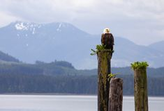 Bald eagle. Resting on the wooden pile,  mountains in the background, Alert bay, Canada BC stock photo