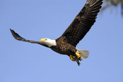 A bald eagle retrurning to the nest with a fish Stock Images