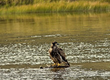 Bald Eagle in River Stock Image