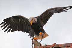 Bald eagle on roof royalty free stock image