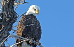 Bald Eagle Roost Royalty Free Stock Photography