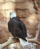 Bald eagle roost Royalty Free Stock Image