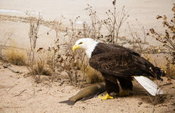 Bald Eagle in Sand Royalty Free Stock Images