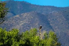 Bald Eagle in a scenic mountain setting in Arizona. Bald Eagle perches atop a cottonwood tree in Dead Horse Ranch State Park near the town of Cottonwood, Arizona stock photography