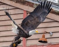 Bald eagle, scientific name Haliaeetus leucocephalus , departing from the hand of the falconer protected with a thick leather. Glove, animal stock photos
