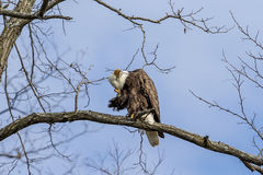 Bald Eagle scratching her headin a tree Royalty Free Stock Photos