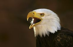 Bald eagle screaming. On dark brown background royalty free stock image