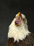 Bald Eagle Screeching Royalty Free Stock Images