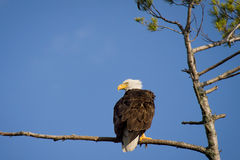 Bald eagle searches for prey. While perched in a pine tree royalty free stock photo
