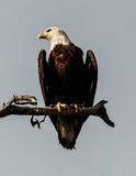 Bald Eagle Sentinel Royalty Free Stock Images