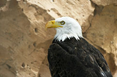 Bald eagle. Serious-looking american bald eagle, with rocks on background Stock Photos