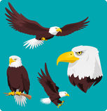 Bald Eagle set. Bald Eagle in four different situations like, Flying Eagle, Perching Eagle, Landing and Eagle Head  cartoon collection Stock Images