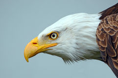 Bald eagle side on portrait Royalty Free Stock Images