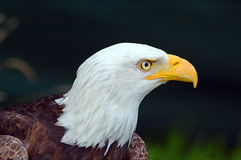 Bald eagle side on portrait Stock Photo